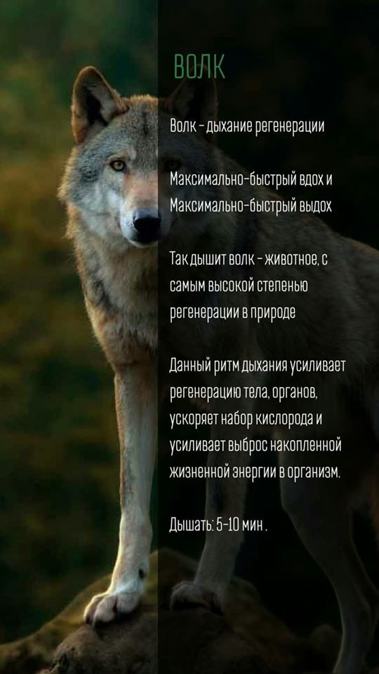Дыхание и рукопашный бой. Волк
